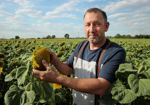 Sonnenblumenernte im Landwirtschaftsbetrieb Landhandel Ackermann