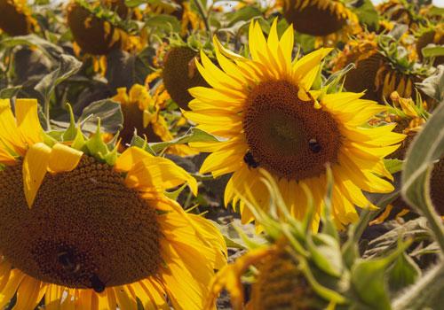 Sonnenblumenfeld des Landwirtschaftsbetrieb Landhandel Ackermann
